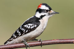 Male Downy Woodpecker (picoides pubescens). On a tree with a green background Royalty Free Stock Images