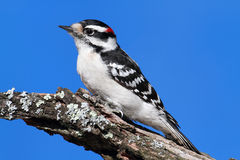Male Downy Woodpecker (picoides pubescens). On a branch with a blue sky background Stock Photos
