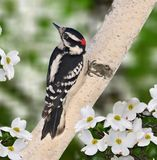 Male Downy Woodpecker (Picoides pubescens). A springtime male Downy Woodpecker on a white birch trunk surrounded by white dogwood blossoms Stock Image
