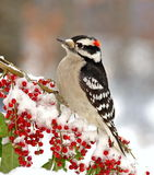 Male Downy Woodpecker (Picoides pubescens). A beautiful male Downy Woodpecker on a snowy branch laden with bright red berries Stock Images