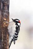 Male Downy woodpecker. Picoides pubescens, perched on old trunk Stock Photography