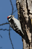Male Downy Woodpecker Stock Photos