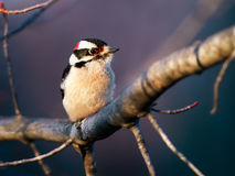 Downy Woodpecker Male Stock Images