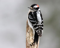 Male Downy Woodpecker on a Stump. A male downy woodpecker (Picoides pubescens) perching on a stump in winter Stock Image