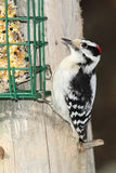 Male Downy Woodpecker at a Suet Feeder Stock Images