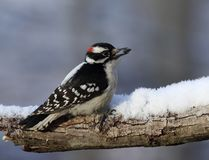 Male downy woodpecker with sunflower seed. On snowy tree branch Stock Photo