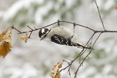 Male Downy Woodpecker, Upside down. Male Downy Woodpecker hanging upside down on a branch Royalty Free Stock Image