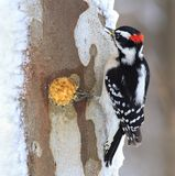 Downy Woodpecker at Winter Suet. A male Downy Woodpecker at winter suet Stock Images