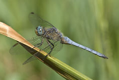 Male dragonfly Royalty Free Stock Images
