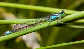 Male Dragonfly Azure Damselfly Coenagrion Puella Royalty Free Stock Photography