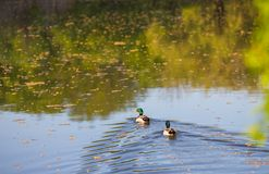 Male or drake duck swimming on a pond. Beautiful male or drake duck swimming on a pond Royalty Free Stock Photography