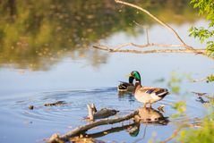 Male or drake duck swimming on a pond. Beautiful male or drake duck swimming on a pond Stock Image