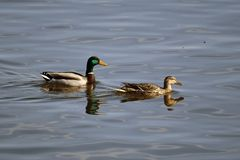 Male and Female Mallards slowly swimming away. Male Drake and Female Hen Mallard Ducks are slowly swimming away from the humans Royalty Free Stock Photos
