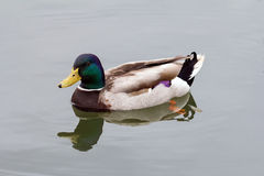 Male Drake Mallard Duck Swimming Royalty Free Stock Image