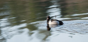 Male drake Ring-necked duck Aythya collaris in spring. Stock Image