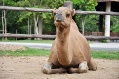 Male dromedary camel Stock Image
