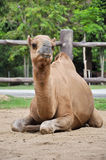 Male dromedary camel Royalty Free Stock Images