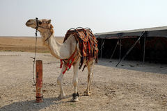Male dromedary camel Stock Photo