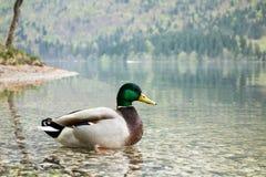 Male duck. (anas platyrhynchos) in Bohinj lake in Slovenia Stock Image
