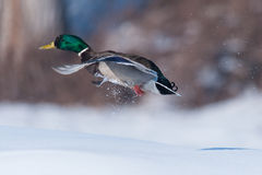 Male duck(Anas platyrhynchos) Stock Image
