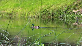 Male duck bird swim against the stream in river water. Follow stock video footage