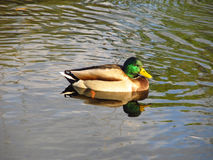 Male duck. Colorful male duck swimming on the river Stock Photos