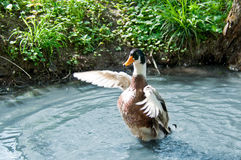 Male duck flapping wing in pond Royalty Free Stock Image