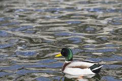 The male duck forages in the lake. A male duck is looking for food in the lake Stock Photography