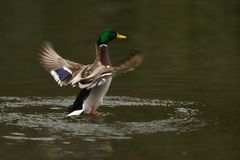 Male of duck is going down. Stock Photos