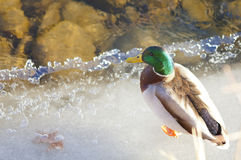 Male Duck on Ice. Male Mallard Duck on Icy bank of river Royalty Free Stock Images