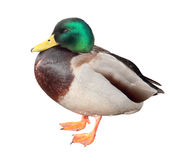 Male duck Stock Photos