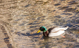 Male Duck on Lake Tahoe. Male Duck on Floating Lake Tahoe Royalty Free Stock Photo