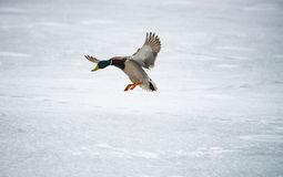 Male duck landing on ice lake winter survive wild. Life Stock Images