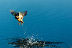 Male duck leaving the pond by taking to the air. A male duck leaving the pond by taking to the air Royalty Free Stock Photography
