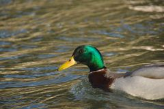 Male duck stock photography