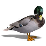 Male duck mallard vector illustration