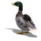 Male duck mallard stock illustration