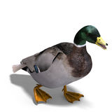 Male duck mallard Stock Photo
