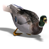 Male duck mallard attacks Royalty Free Stock Images