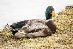 Male Duck Mallard Royalty Free Stock Photos