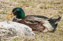 Male Duck Mallard Royalty Free Stock Images