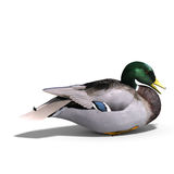 Male duck mallard sitting Stock Photos