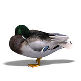 Male duck mallard sleeping. 3D rendering with clipping path and shadow over white Royalty Free Stock Images