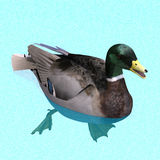 Male duck mallard swimming. 3D rendering with clipping path and shadow over white Royalty Free Stock Image