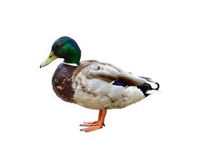 Free Male Duck On White Background Stock Photo - 96604620