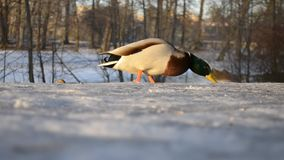 Male duck in the park stock video footage