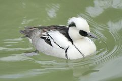 Male duck smew Stock Photo