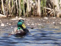 Male duck. Swim on the lake Stock Images