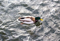 Male duck swiming Stock Photo