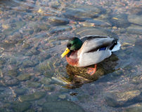 Male duck swimming. In the transparent water Royalty Free Stock Photos